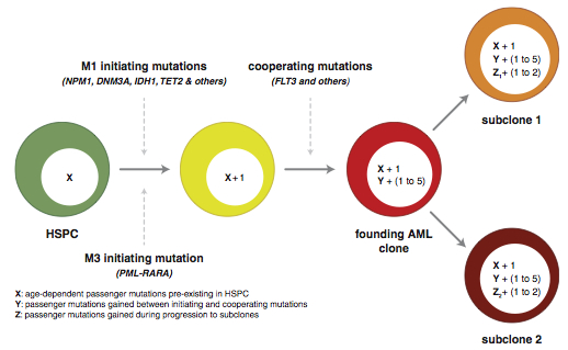 Evolution and mutation in AML