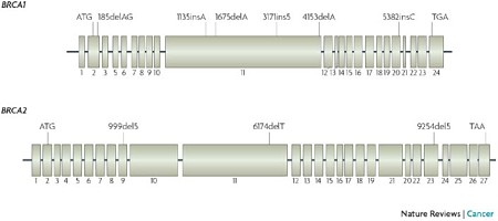 brca1 and brca2 genes